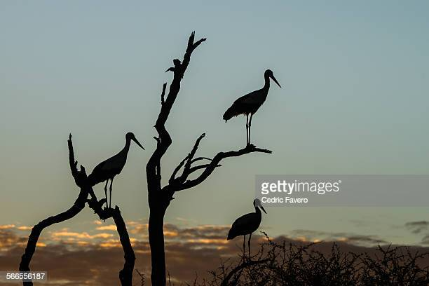 Silhouette of Storks