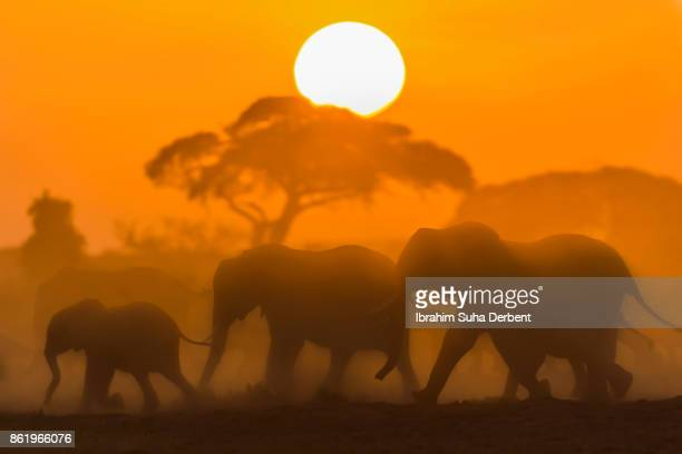 Silhouette of the  elephant family.
