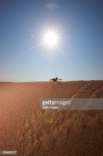 Silhouette of Thick-Tailed Scorpion (Parabuthus transvaalicus) walking on sand, Namibia