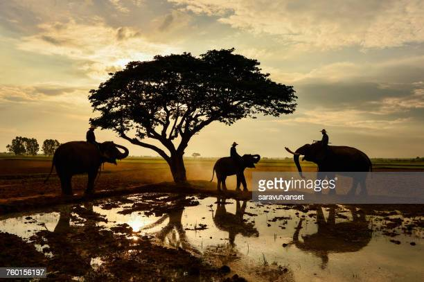 Silhouette of three men sitting on elephants by a lake, Surin, Thailand