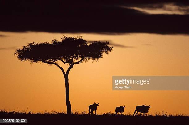 Silhouette of three wildebeest (Connochaetes taurinus) and Acacia