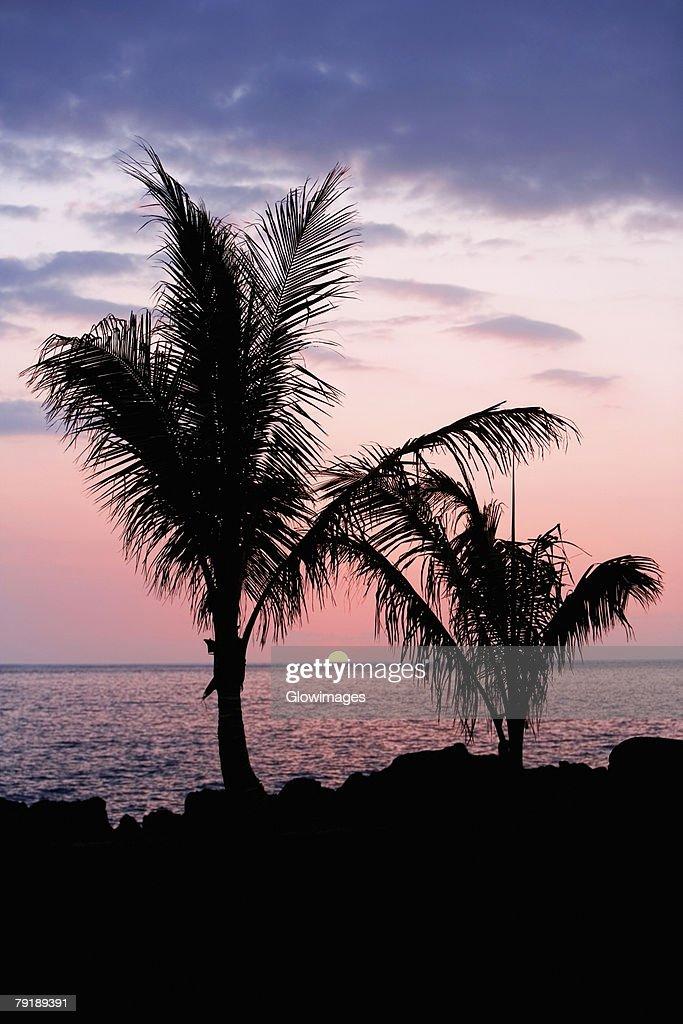 Silhouette of trees at dusk, Pakini Nui Wind Project, South Point, Big Island, Hawaii Islands, USA : Stock Photo