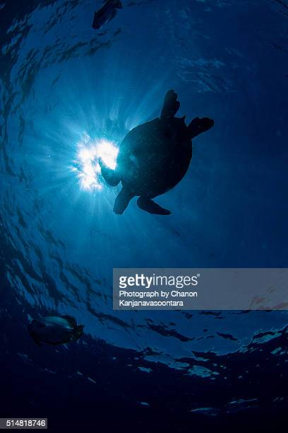 Silhouette of turtle swimming near sea surface.