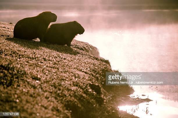 Silhouette of two Capybara