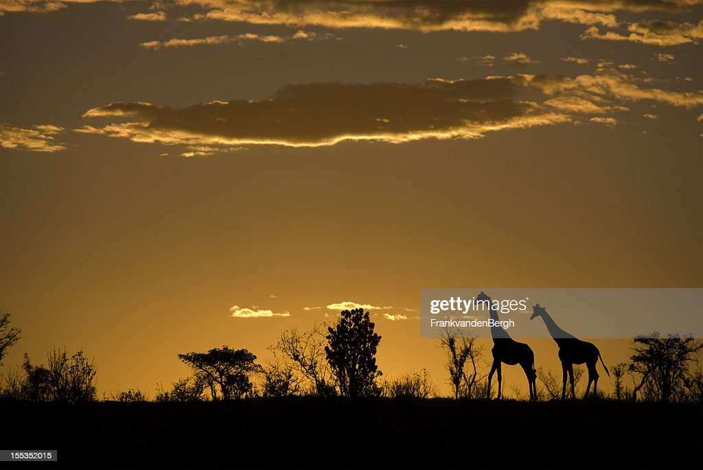 Silhouette of two giraffes at an african sunset : Stock Photo