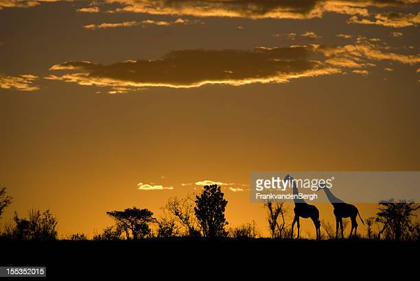 silhouette of two giraffes at an african sunset - south africa stock pictures, royalty-free photos & images
