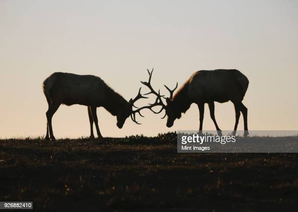 silhouette of two tule elk with locked antlers at dusk. - animal behaviour stock pictures, royalty-free photos & images
