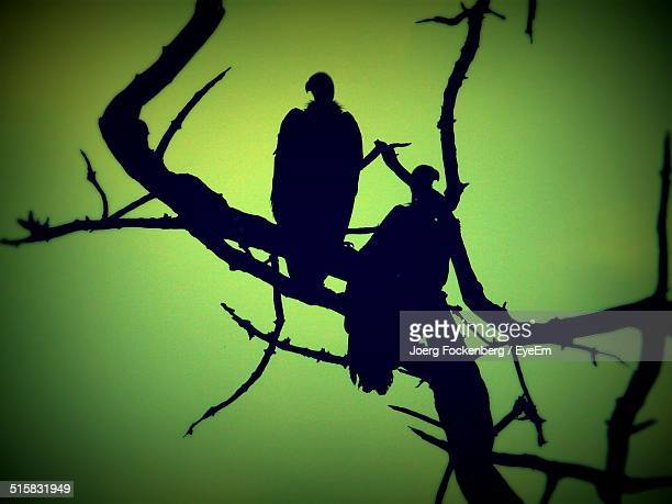 Silhouette Of Vultures On Tree
