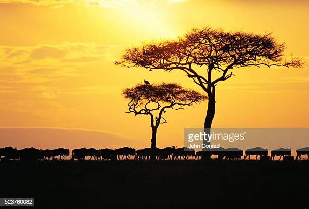 Silhouette of Wildebeest Herd