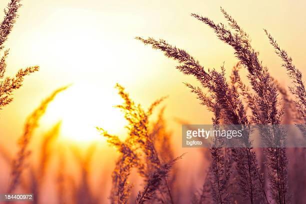 Silhouette von Wildblumen im Sonnenuntergang