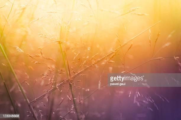 Silhouette von Wildblumen in Wiese bei Sonnenaufgang oder Sonnenuntergang
