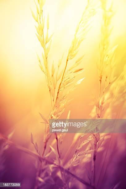 Silhouette von Wildblumen auf Wiese bei Sonnenuntergang