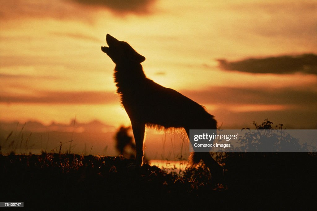Silhouette of wolf howling at sunset : Stockfoto