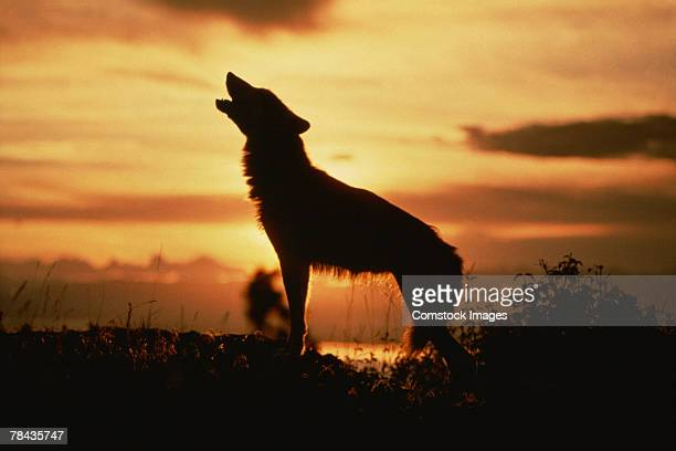Silhouette of wolf howling at sunset