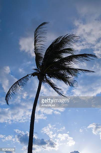 Silhouette palm tree blue dawn sky, Cuba