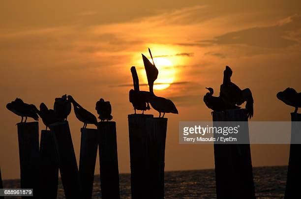 Silhouette Pelicans Perching On Wooden Posts In Sea Against Sky During Sunset
