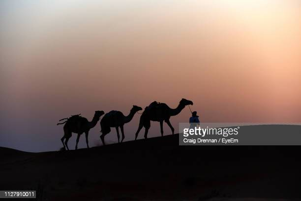 silhouette person with camels walking on sand at desert against clear sky during sunset - oman fotografías e imágenes de stock
