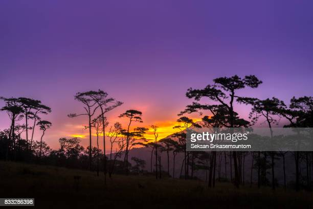silhouette Pine forest at sunrise