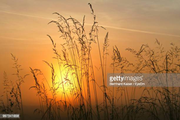 silhouette plants against sky during sunset - graspflanze stock-fotos und bilder