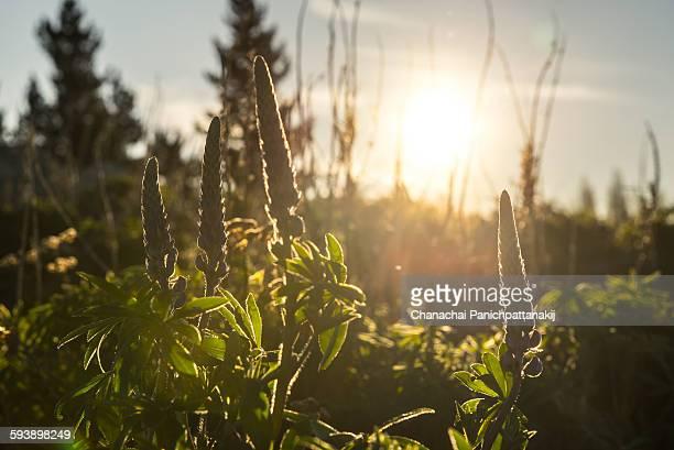 Silhouette Scene of Lupine Flower from Lake Tekapo