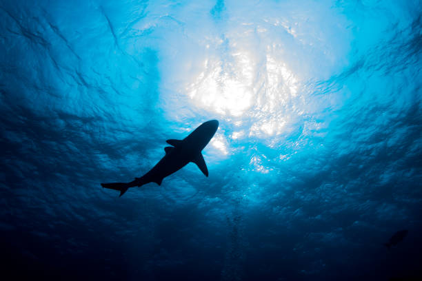 Silhouette shark swimming against the water surface