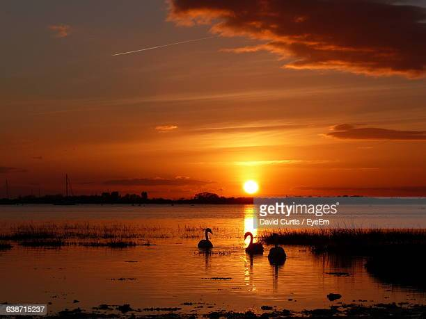 Silhouette Swans Swimming In Lake At Sunset