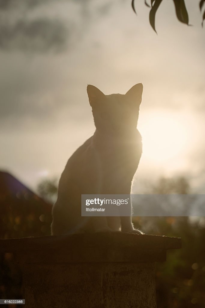 silhouette thai cat sitting on pillar with sunset light : Photo