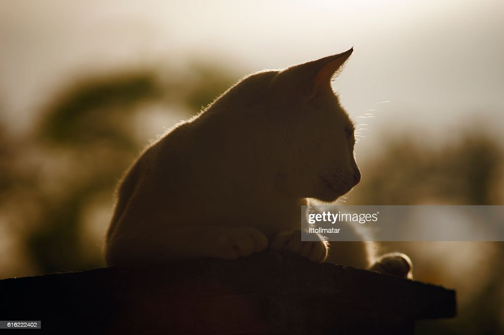 silhouette thai cat sitting on pillar with sunset light : Stock-Foto