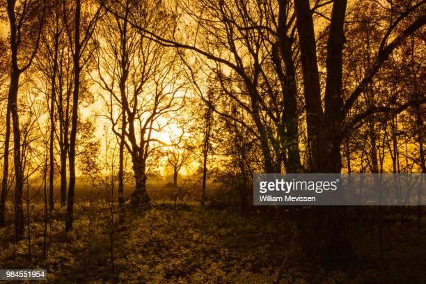 silhouette trees - william mevissen - fotografias e filmes do acervo