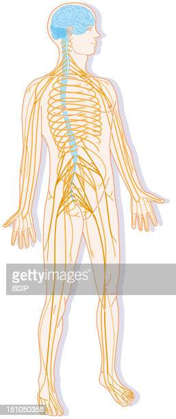 Silhouette With The Nervous System Constituted Of The Central System And The Peripheral System