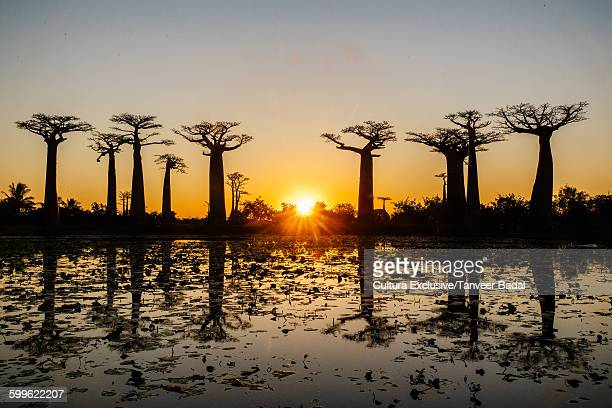 Silhouetted avenue of baobab trees at sunset, Madagascar, Africa