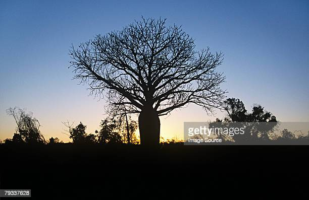 Silhouetted baobab tree