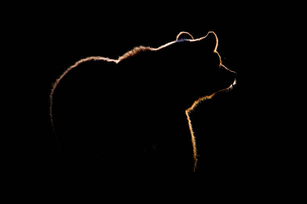 A Silhouetted Brown Bear Finland - Fine Art prints