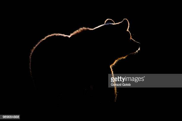 a silhouetted brown bear, finland. - bear stock pictures, royalty-free photos & images