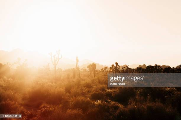 silhouetted joshua trees at sunset, joshua tree national park, california, usa - tropical bush stock pictures, royalty-free photos & images