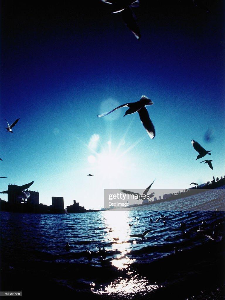 Silhouetted Minato-ku skyline at sunset, Seagulls flying, Tokyo, Japan : Stock Photo