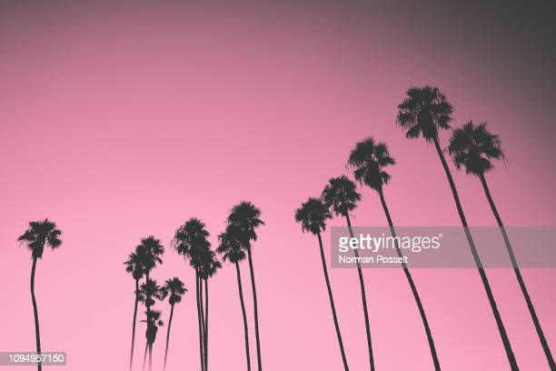 silhouetted palm trees against pink sky, santa barbara, california, usa - southern california stock pictures, royalty-free photos & images