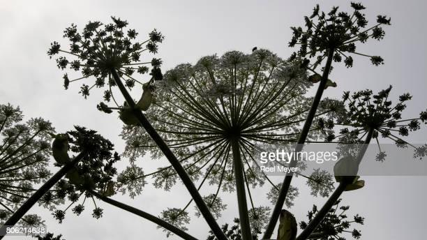 silhouetted umbel of giant hogweed - giant hogweed - fotografias e filmes do acervo