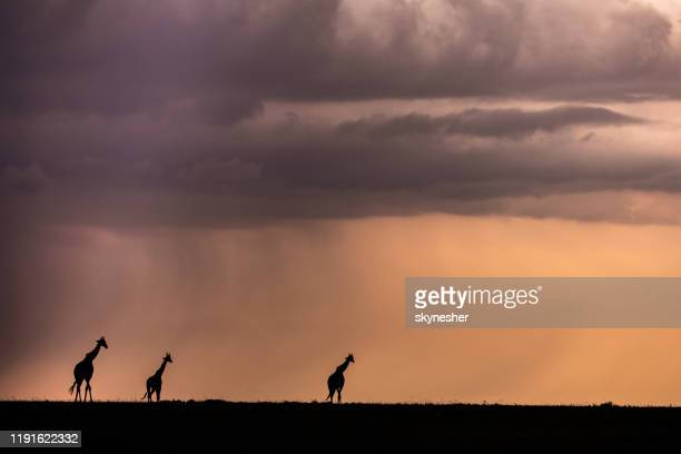 silhouettes of african giraffes walking at sunset. - east african tribe stock pictures, royalty-free photos & images