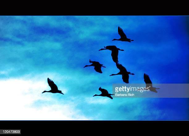 Silhouettes of calling migrating Sandhills Cranes