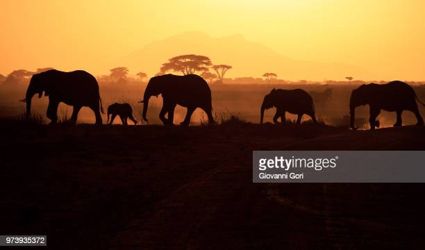 Silhouettes of elephants (Loxodonta africana) walking on savannah, Amboseli National Park, Kenya