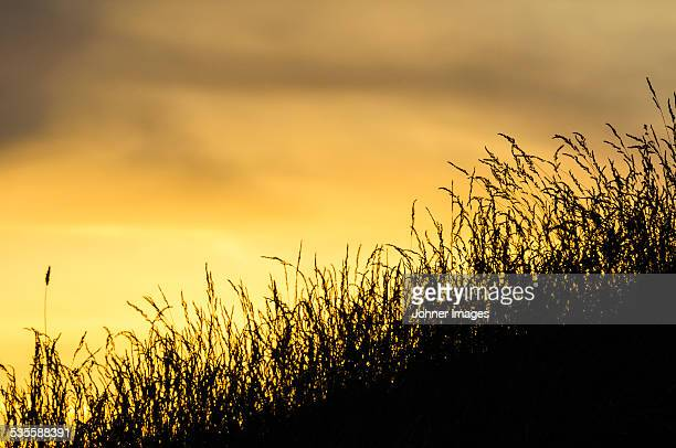 Silhouettes of grass against evening sky