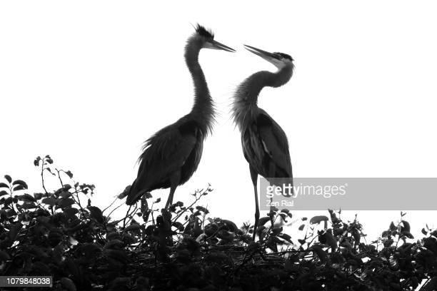 silhouettes of nesting great blue herons (ardea herodias) against white background - delray beach stock pictures, royalty-free photos & images
