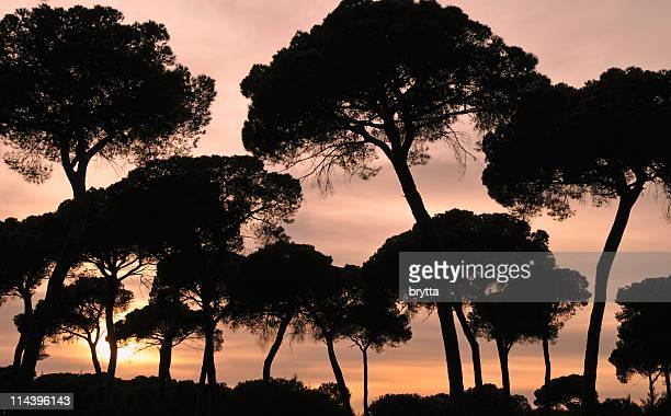 silhouettes of pine trees at sunset, donana national park,spain - donana national park stock photos and pictures