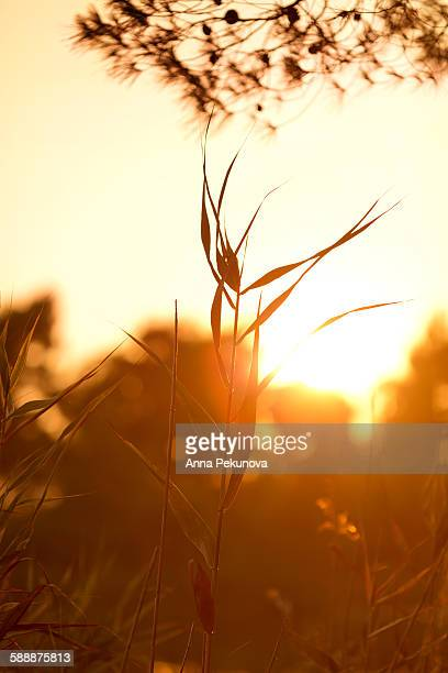 Silhouettes of reed against the sunset