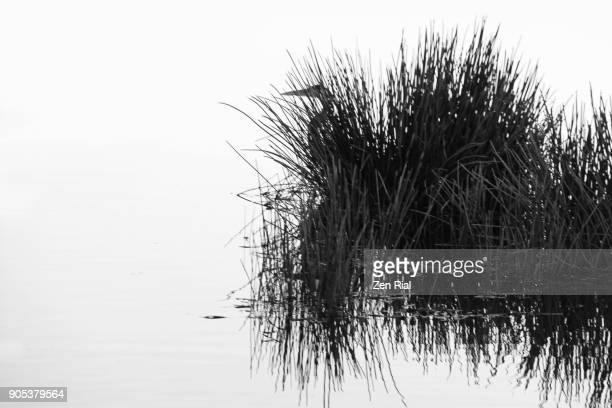 Silhouettes of reeds and heron in black and white
