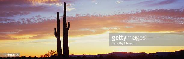 silhouettes of saguaro cacti at sunset - timothy hearsum fotografías e imágenes de stock