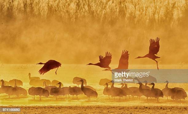 silhouettes of sandhill cranes (grus canadensis) at bosque del apache national wildlife refuge, new mexico, usa - wildlife reserve stock pictures, royalty-free photos & images
