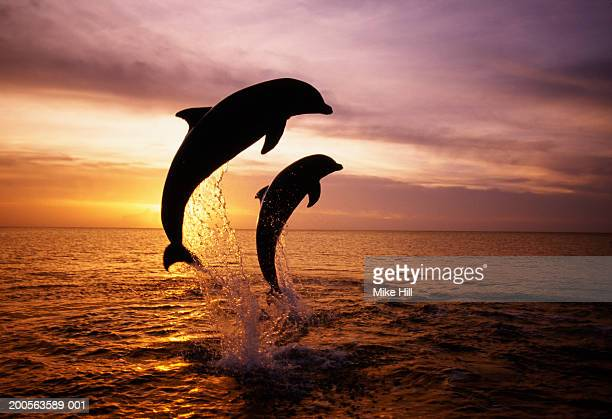 Silhouettes of two bottle nosed dolphins jumping from sea at sunset
