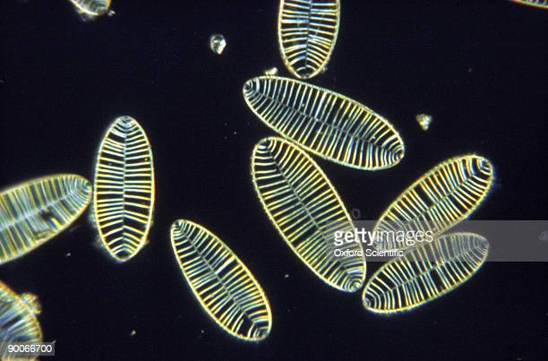 siliceous diatom tests - diatom stock photos and pictures